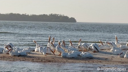 Flock of Migrating White Pelicans  at the Ten Thousand Island National Wildlife Refuge