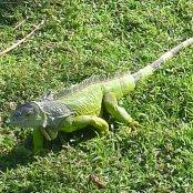 Mangrove Animals: Iguana