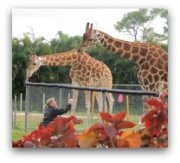 Miami Attractions for Kids and Families: Giraffes at Zoo Miami