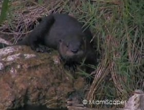 Otters at Shark Valley