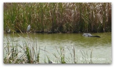 Alligators at Shark Valley water hole