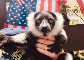 Lemur Celebration 4th of July at Jungle Island