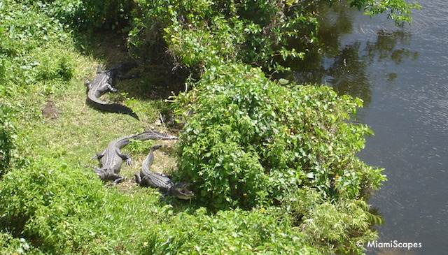 Alligators by the Tower waterhole in Shark Valley