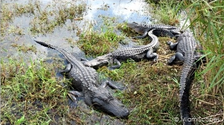 Alligators by the Anhinga Trail