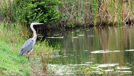 Great Blue Heron by the Anhinga Trail