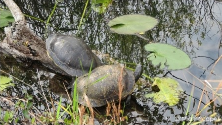 Turtles by the Anhinga Trail