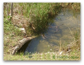 Baby alligators in puddle of water at Shark Valley