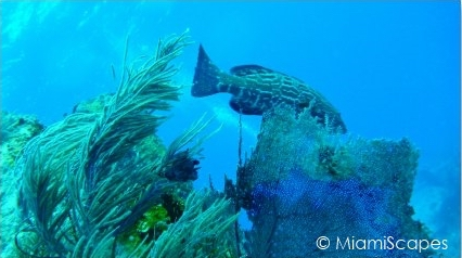 Key Largo Scuba Diving - Benwood Wreck: a Grouper cruising by