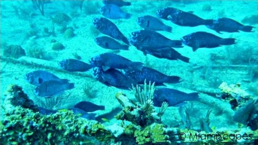 Key Largo Scuba Diving - Benwood Wreck: Schooling Blue Parrot Fish