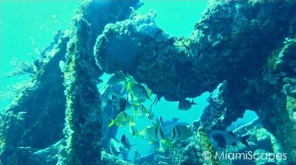 Key Largo Scuba Diving - Benwood Wreck: Schooling Pork Fish