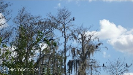 Cormorants at HP Williams Roadside Park at Big Cypress Preserve