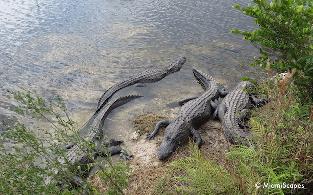 Alligators at Oasis Visitor Center at Big Cypress Preserve