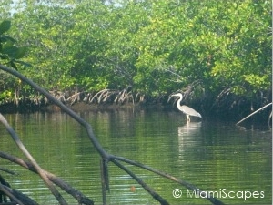 Egret at Biscayne National Park Mangrove Forest