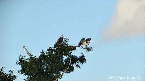 Eco Pond: a pair of nesting osprey