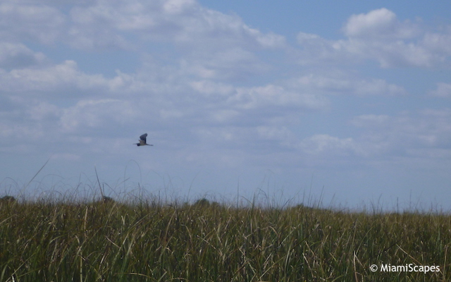 Everglades Airboat Tour: bird in flight