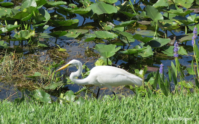 Everglades Airboat Tour: Egret