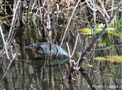 Everglades Airboat Tour Wildlife Sightings: Litle Green Heron