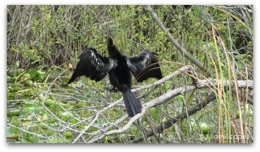 The Anhinga Trail at the Everglades