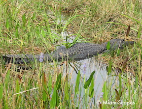 Everglades Anhinga Trail: Alligator