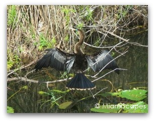 Everglades Anhinga Trail - An Anhinga drying its feathers