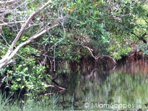 Road to Flamingo:Mangrove Swamp