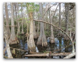 Everglades Cypress Swamp