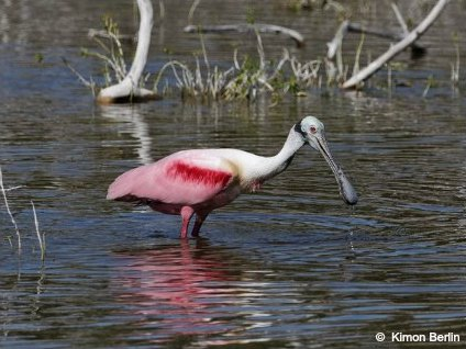 Roseate Spoonbill at Eco Pond