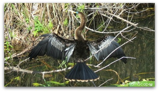 Beautiful blue-eyed anhinga drying her wings