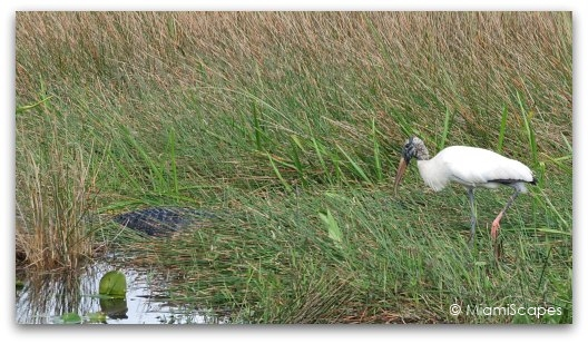 A wood stork next to an alligator, a bit daring if you ask me