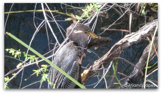 An anhinga swallows that whole fish, unbelievable