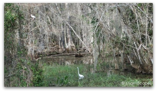Cypress swamps in the Everglades