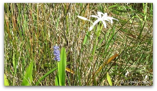 String Lilies bloom at the Everglades this time of the year