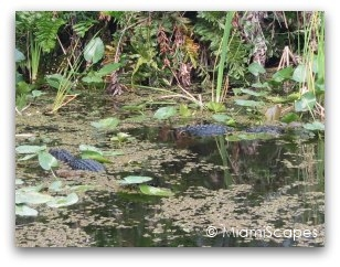 Alligators at Shark Valley in the Everglades