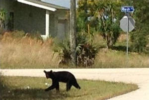 A Florida Black Bear cub meanders around the neighborhood near Ft. Myers