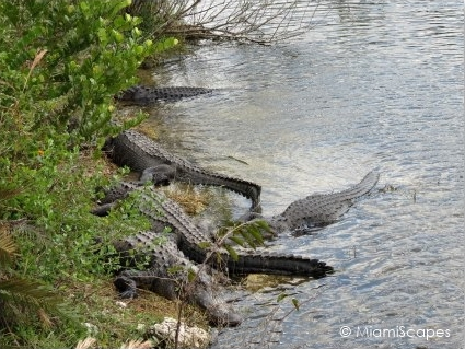 Alligators at the Florida Everglades