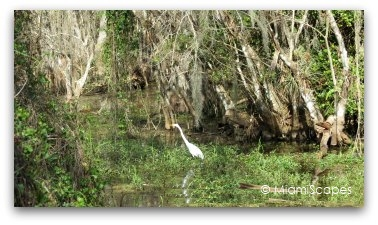 Egret in cypress swamp at Big Cypress Preserve