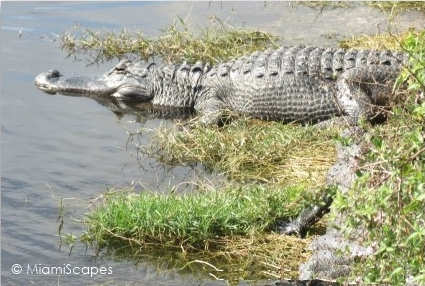 Alligator at Oasis Boardwalk Big Cypress Preserve