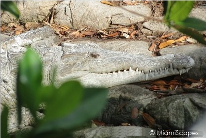 American Crocodile at Flamingo Everglades