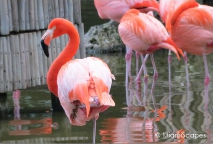 Flamingos at Lion Country Safari