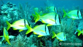 Pork Fish swim along a colorul reef off Key Largo