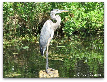 Great Blue Heron at the Florida Everglades