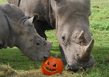 Rhinos with Pumpkins