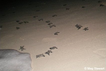 Freshly hatched sea turtle hatchlings scramble together towards the water