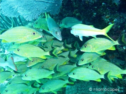 Molasses Reef - School of Blue-striped Grunts