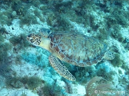 Molasses Reef - Sea Turtle