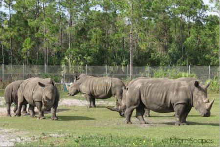 Lion Country Safari Herd of  Rhinos