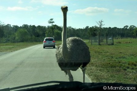 Lion Country Safari Ostrich in front of our windshield