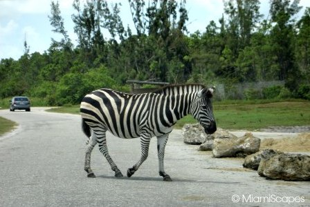 Lion Country Safari Zebra Crossing the Road
