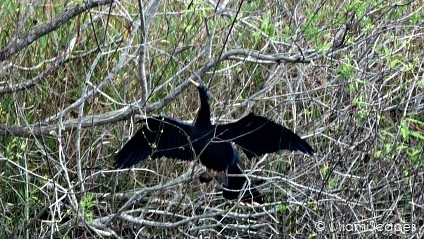 Loxahatchee National Wildlife Refuge Birdlife: Anhinga