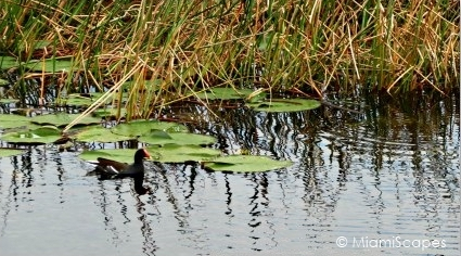 Loxahatchee National Wildlife Refuge Birdlife: Coots